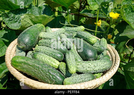 Freshly harvested cucumbers (Cucumis sativus) in a wicker basket with foliage in background. - Stock Image