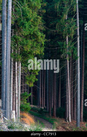 Norway Spruce (Picea abies), Trees in Monoculture Forestry, Lower Saxony, Germany - Stock Image