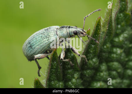 Green Weevil (Phyllobius sp) crawling up plant leaf.Tipperary, Ireland - Stock Image