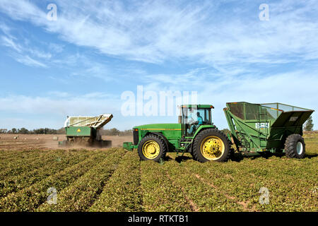 Combine harvesting peanut crop, John Deere tractor 8100 assisting with bankout wagon, 'Arches hypogaea'. - Stock Image