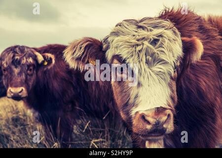 A herd of hairy Highland cattle outdoors in a field - Stock Image