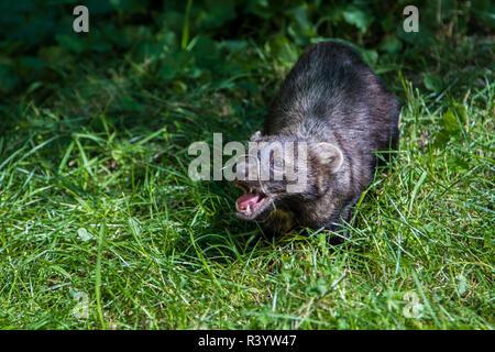 Glacier National Park, Montana. Weasel - Stock Image