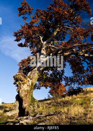 Deutschland, Bayern, Naturpark Bayrische Rhön, UNESCO-Biosphärenreservat, Naturschutzgebiet, Hutebuche 'Hexenbuche' am Himmeldunkberg im Herbstlaub, - Stock Image