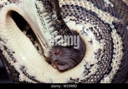 Carpet Python feeding on Rat - Stock Image