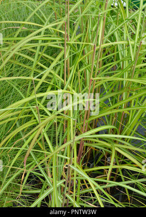 Close up of the grass Miscanthus sinensis 'Malepartus' - Stock Image