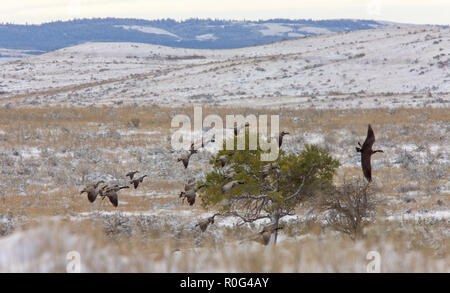 Canada Geese in Flight Cypress hills Saskatchewan - Stock Image