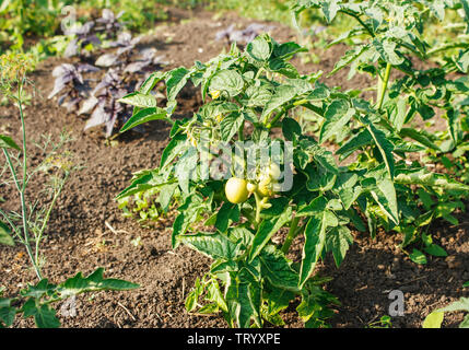 three ripening green tomatoes in the garden on summer day closeup - Stock Image