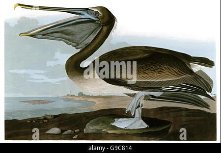 Brown Pelican, Pelecanus occidentalis, birds, 1827 - 1838 - Stock Image