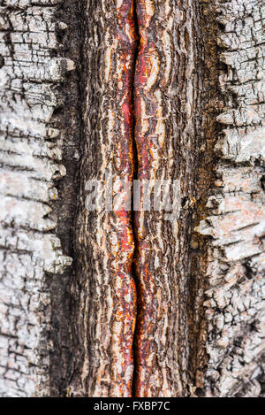 Closeup of damaged birch bark details - Stock Image