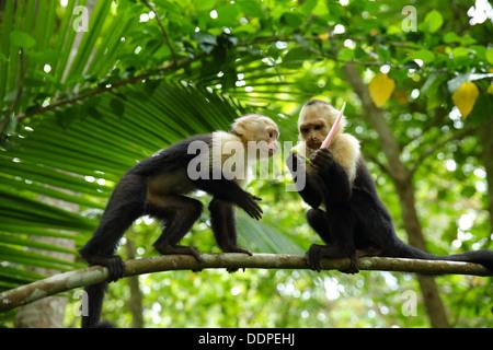 Capuchin Monkeys in tree, Manuel Antonio, Costa Rica. - Stock Image
