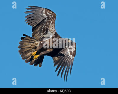 Juvenile Bald Eagle in Flight - Stock Image