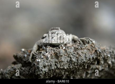 Lava Lizard, Microlophus albemarlensis, Tropiduridae, Punta Espinoza, Fernandina Island, Galapagos Islands, Ecuador - Stock Image