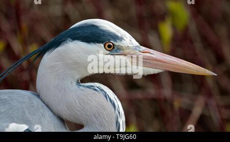 Grey Heron (ardea cinerea) - Stock Image