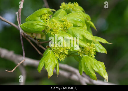 flowering Field Maple (Acer campestre) tree with fresh leaves - Stock Image