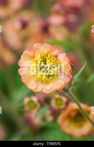 Geum 'Cumbrian Cherrytart' flowers. - Stock Image