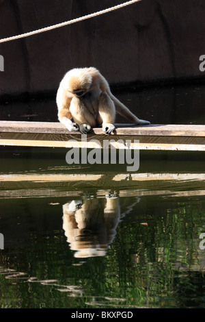 a gibbon monkey looking at its reflection in the water vertical - Stock Image