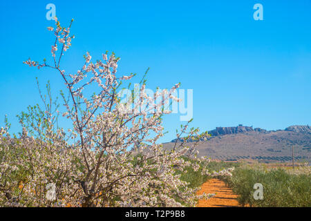 Flowered almond tree, olive grove and Peñas Negras castle. Mora, Toledo province, Castilla La Mancha, Spain. - Stock Image