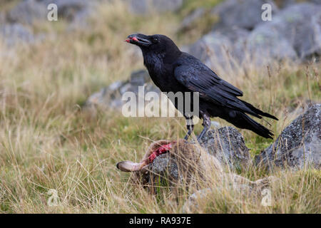 Raven Corvus corax feeding on a dead rabbit on moorland taken under controlled conditions - Stock Image