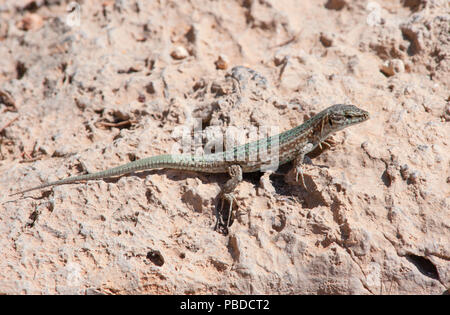 Ibiza Wall Lizard, (Podarcis pityusensis), on rocks on the east coast of Ibiza Island, Balearic Islands, Mediterranean Sea, Spain - Stock Image