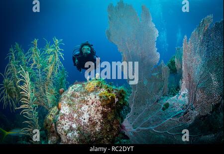Woman diver among Gorgonian fan corals, east coast of Bonaire, Netherlands Antilles - Stock Image