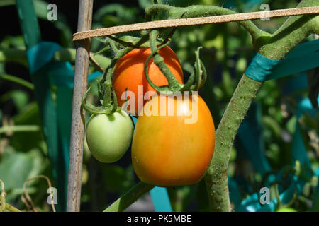 Tomatoes growing on the vine. - Stock Image