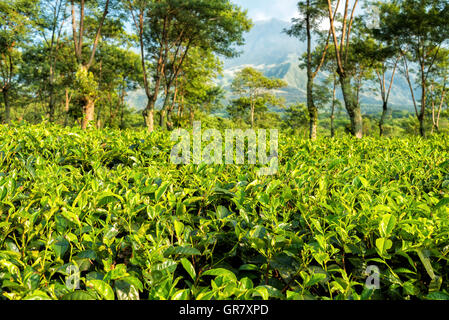 Morning at the tea plantations at Java, Indonesia - Stock Image