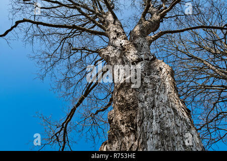 Silhouette of tree crown with blue sky. Beautiful close-up of sunlit rough trunk. Gray bark. Bare branches. Deciduous treetops in sunny spring nature. - Stock Image