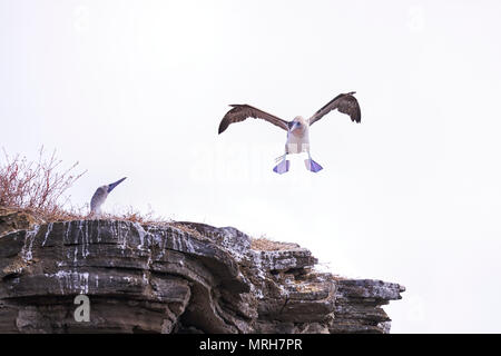 Blue Footed Booby landing on rocky outcrop in the Galapagos Islands of Ecuador - Stock Image