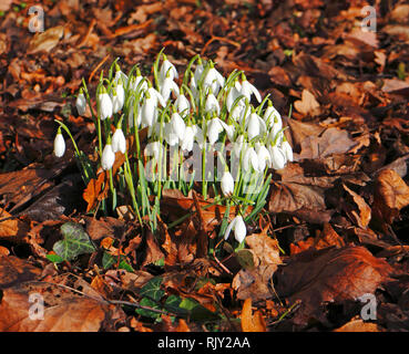 A group of Snowdrops, Galanthus nivalis, in an English country churchyard at Shelton, Norfolk, England, United Kingdom, Europe. - Stock Image