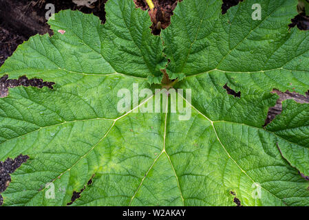 The surface of the leaf of Gunnera tinctoria outside in a garden, close-up to show detail - Stock Image