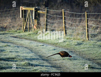 Pheasant in a Frosted Field - Stock Image