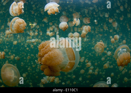 Golden Jellyfish near the surface in Jellyfish lake Palau (Mastigias) - Stock Image