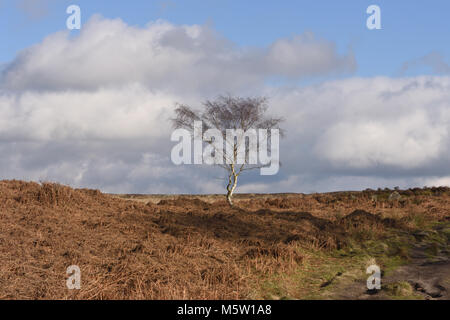 Leafless winter Silver Birch (Betula pendula) trees growing among the dead bracken, heather and grasses on Froggatt - Stock Image