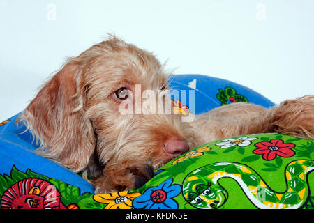 Hungarian Vizsla puppy lying on bean bag bed - Stock Image