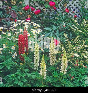 Close up detail of a garden border with Lupins and daisies - Stock Image
