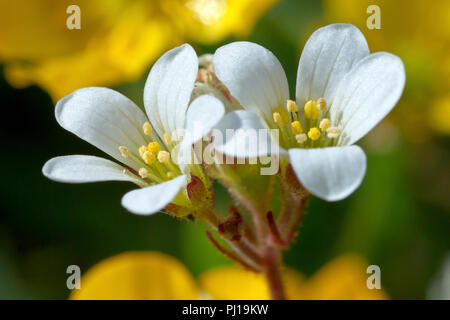 Meadow Saxifrage (saxifraga granulata), close up of a couple of flowers growing amongst buttercups. - Stock Image