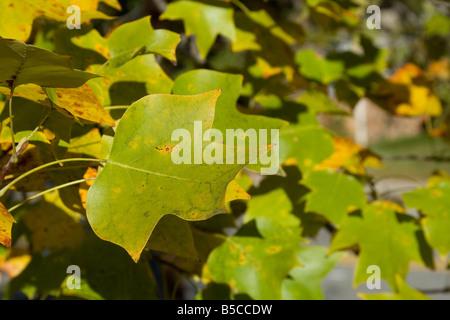 Seasonal changing of color of the leaf of a Tulip Poplar tree in Atlanta Georgia - Stock Image