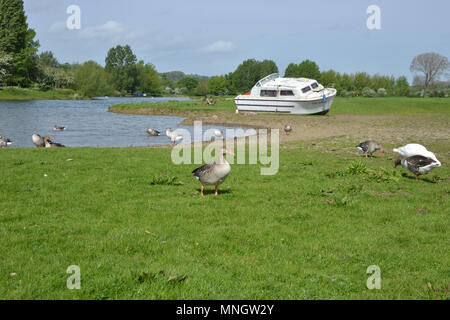 Boat beached on bank of River Thames, Port Meadow, Oxford with grey geese grazing in the foreground - Stock Image