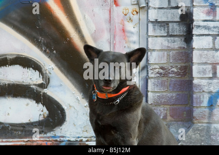 Close up of a pretty dog with an orange collar in front of a painted wall - Stock Image