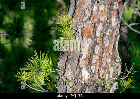 New tree shoots regrowth following a forest fire the Canary Island pine (Pinus canariensis) - Stock Image