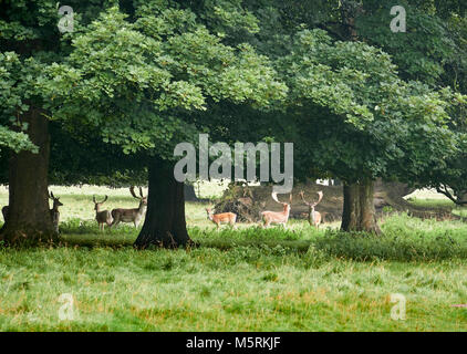 Fallow Deer Sheltering under woodland trees in the English Countryside - Stock Image