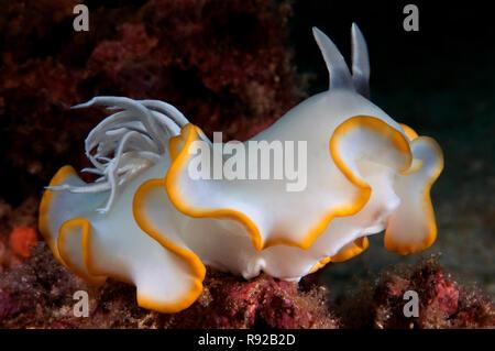 Ardeadoris egretta - Stock Image
