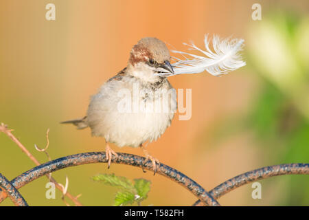 Male house sparrow - passer domesticus - collecting nesting material, holding large feather in its beak - Scotland, UK - Stock Image