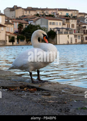 Swan resting by the Grand Bassin, Castelnaudary, Canal du Midi, France - Stock Image