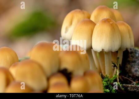 Sulphur Tuft or Sulfur Tuft (hypholoma fasciaculare), close up of a cluster of fruiting bodies. - Stock Image