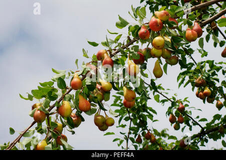 Pears ready for harvest on a tree branch Communis or Bella di giugno or Mirandino Red or June Beauty - Stock Image