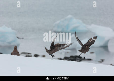 Two skuas fight for territory near a penguin colony on the Antarctic Peninsula - Stock Image