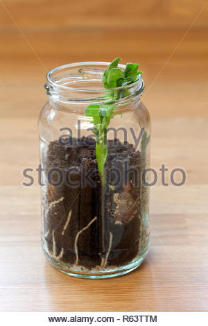 Broad bean plant germination in a jam jar - Stock Image