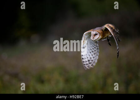 Barn Owl static and in flight Canadian Raptor Conservancy - Stock Image