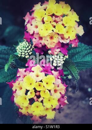 Yellow pink Lantana Camara flowers - Stock Image
